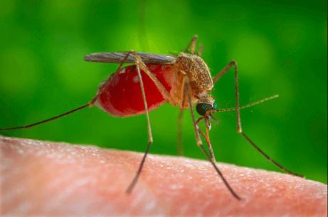 Komar wypełniony krwią siedzący na skórze