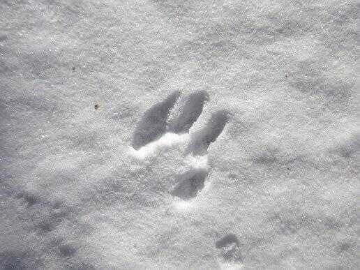 Odcisk łapy na śniegu