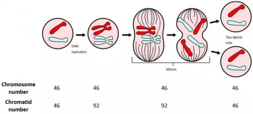 Mejoza - diagram